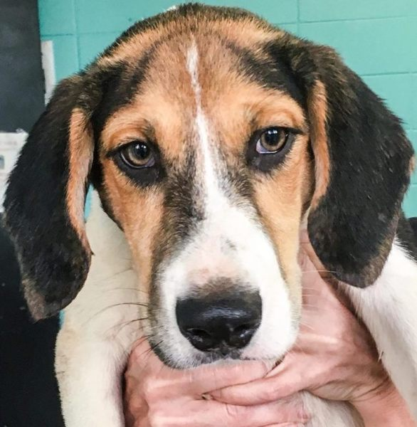 Hamlet,  3 month old Male, Hound mix
