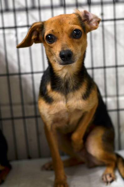 Lacy, 1 1/2 year old Female, Chihuahua mix