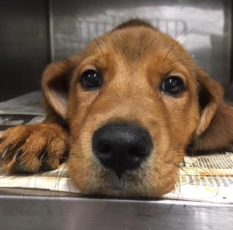 Pluto, 3 month old Male, Retreiver mix
